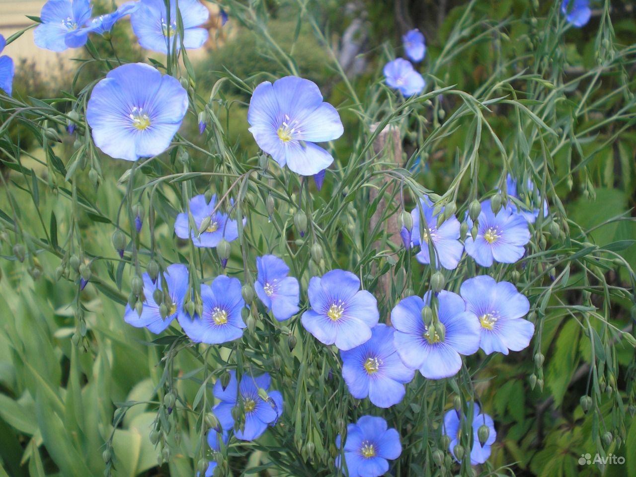 Цветы лён многолетний фото