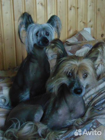 Китайская хохлатка щенок