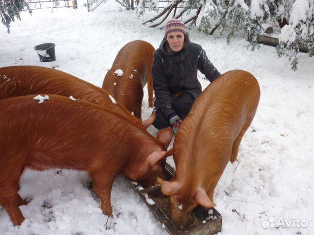 Порода свиней домашних условиях
