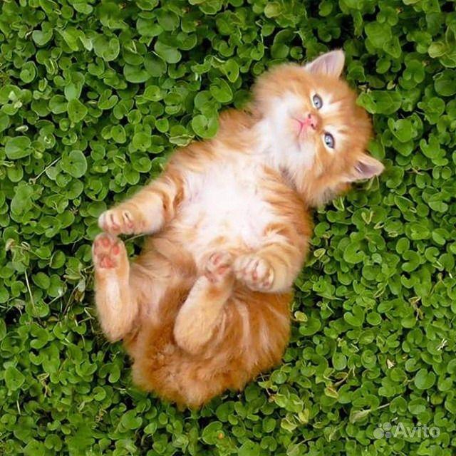 Элитные котята