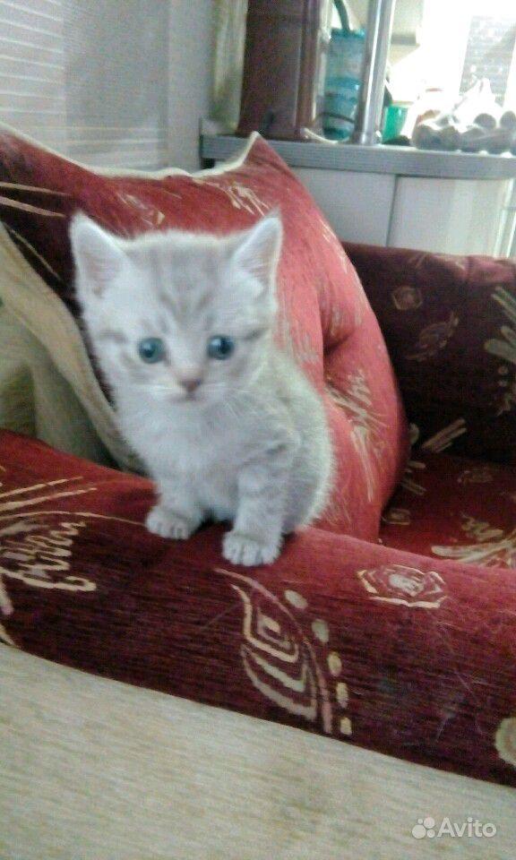 Британские котята в Саратове - фотография № 6