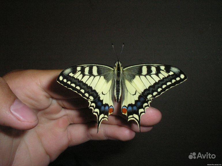 Живые Тропические бабочки Сова Андромеда - фотография № 10