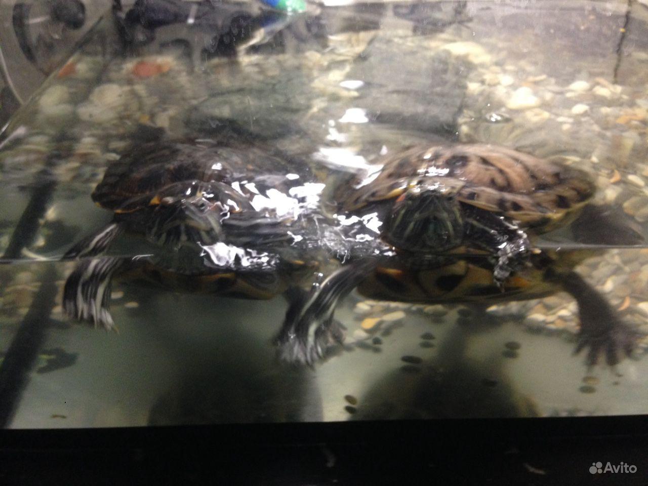 Отдам даром красноухих черепах