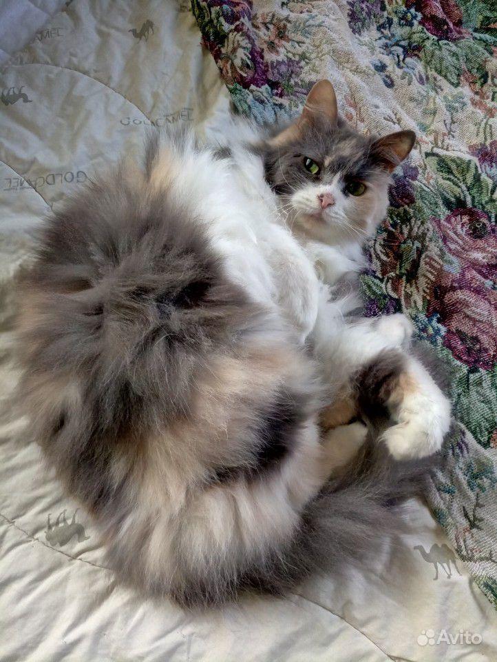 Трехцветная кошка-девочка полуперс