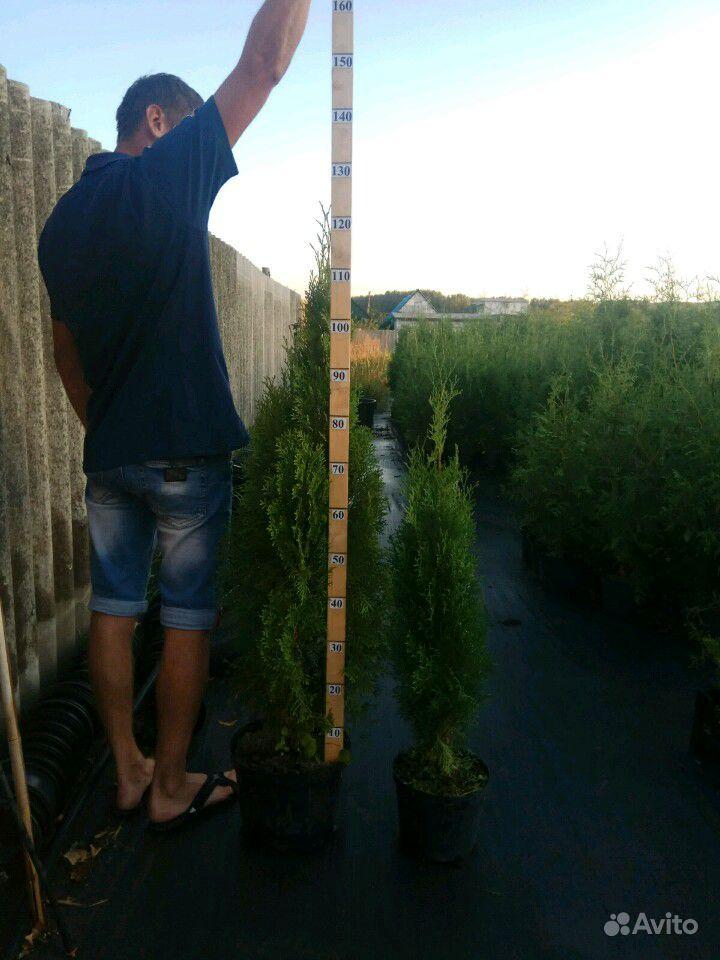 Хвойные растения,Туя (туи,ель,можжевельник) купить на Зозу.ру - фотография № 6