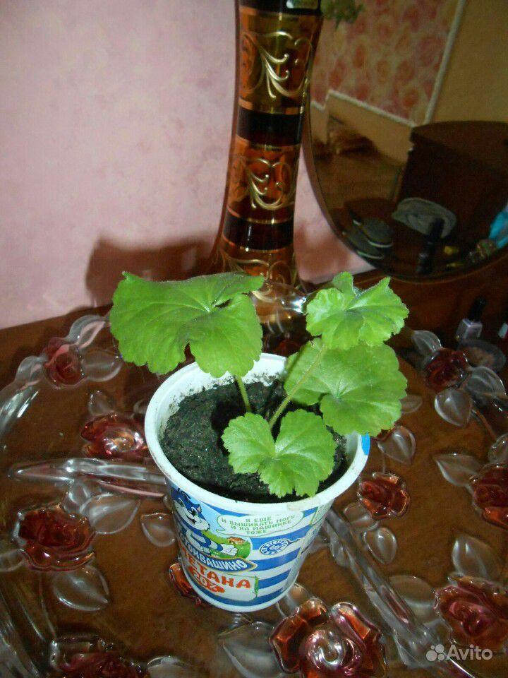 Пеларгония герань купить на Зозу.ру - фотография № 9