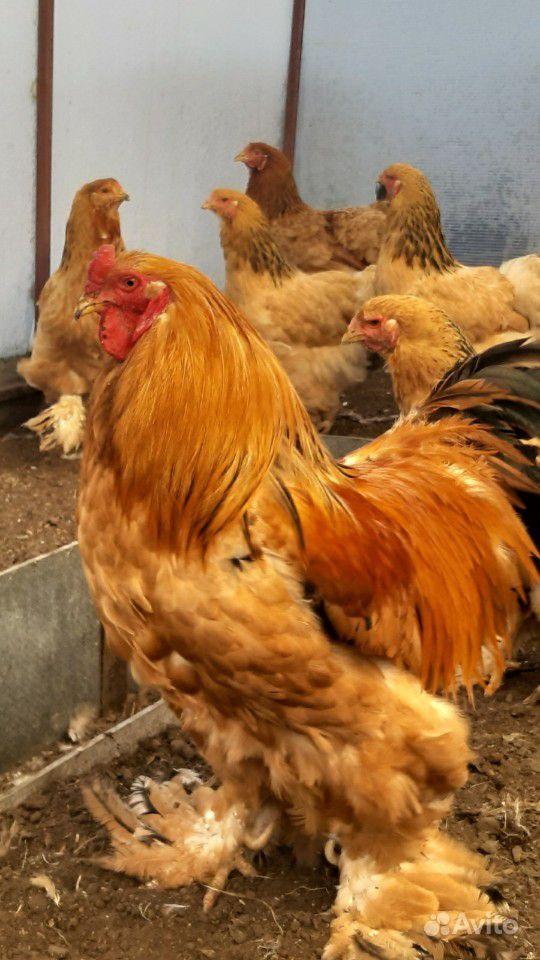 Цыплята палевая брама купить на Зозу.ру - фотография № 1