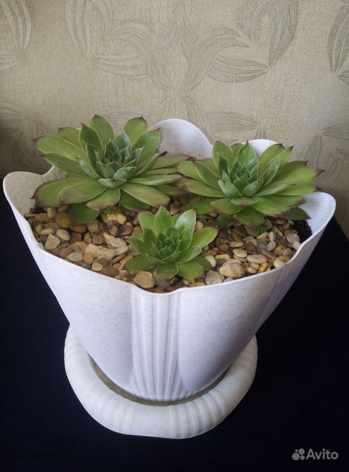 Молодило растение купить на Зозу.ру - фотография № 4