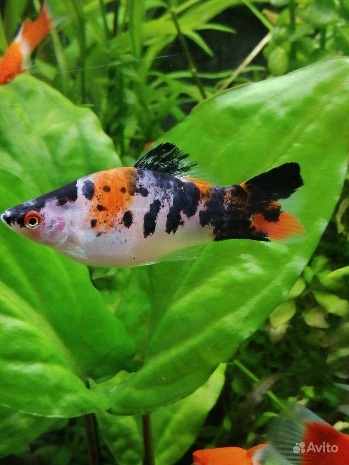 Меченосцы аквариумные рыбки купить на Зозу.ру - фотография № 6