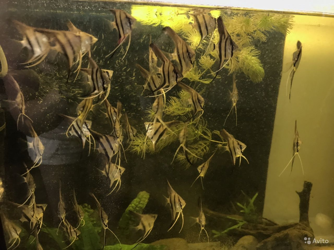 Аквариумные Рыбки -скалярия, Вид Рио-Нанай -Перуан купить на Зозу.ру - фотография № 6