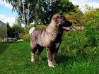 Девочка кавказской овчарки 3 мес