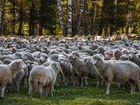 Овцы барана