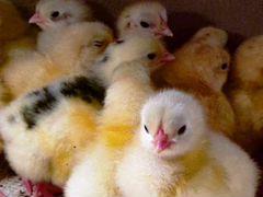 Цыплята от домашней курицы