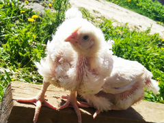 Подросшие Цыплята бройлер кобб 500