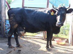 Корова черная
