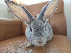 Декоративный кролик, 5 мес
