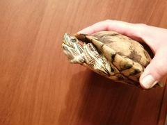 Подарим красноухих черепашек