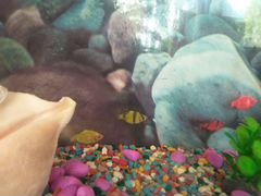 Рыба барбусы