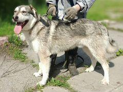 Ласковый пёс (метис хаски)