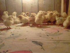 Цыплята, молодки