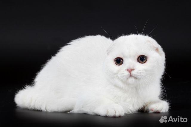 шотландская вислоухая белая кошка фото