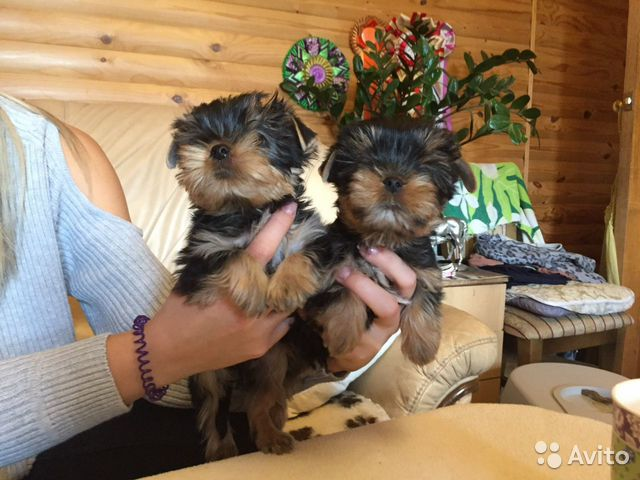 Милые щеночки купить на Зозу.ру - фотография № 6