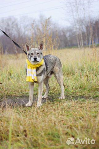 Собака в дар метис овчарки купить на Зозу.ру - фотография № 4