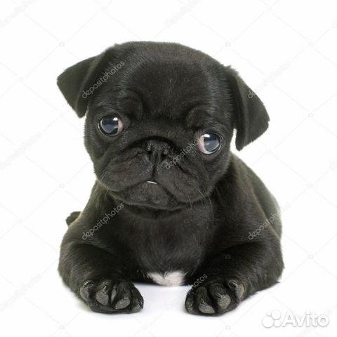 Хочу щенка черного мопса купить на Зозу.ру - фотография № 1