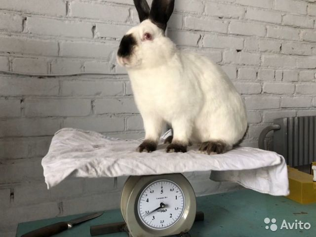 Rabbits buy 1