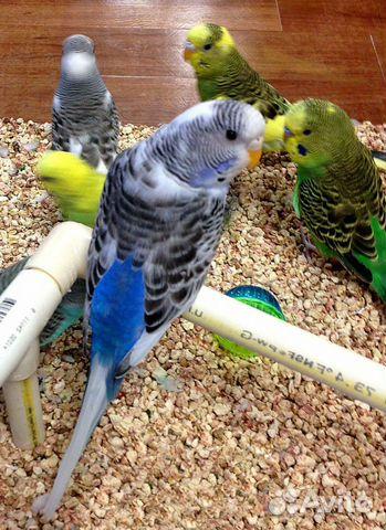 Попугаи купить 3