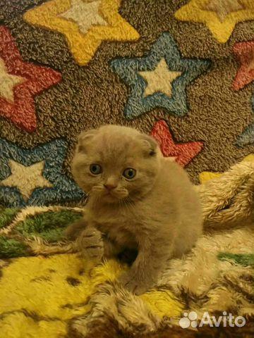 Британские котята 89788145185 купить 4