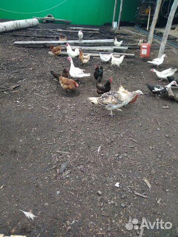 Индюки, индоутки, курицы  89178059446 купить 3