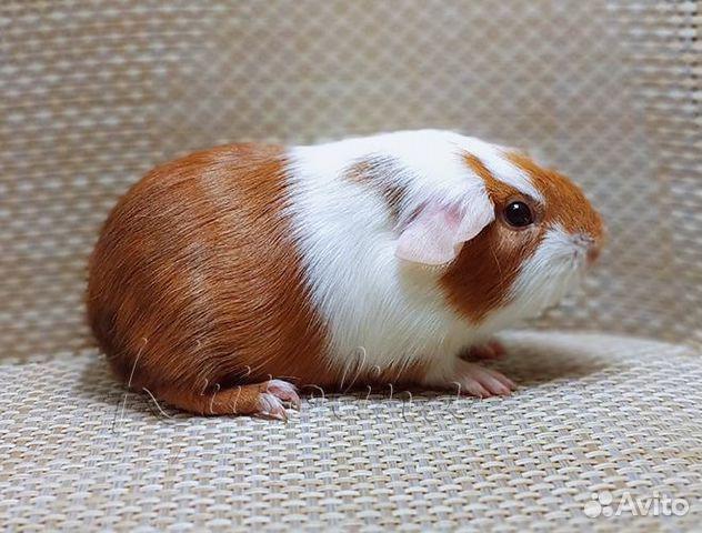 Гладкая морская свинка самец  89633433393 купить 1