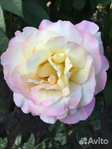 Саженцы деревьев, розы  89304046460 купить 2