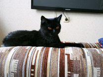 Кошка Британской породы