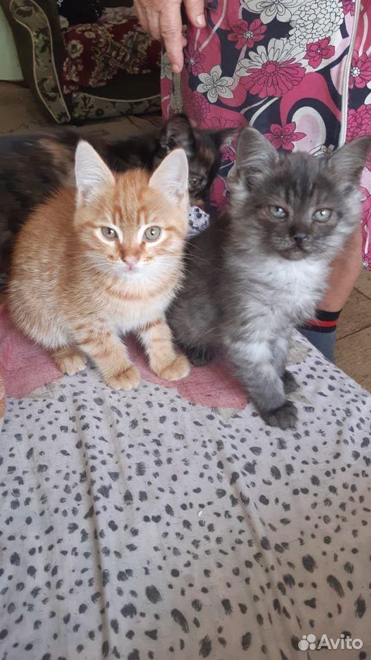 Кошки  89888508420 купить 2