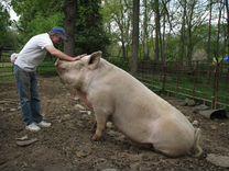 Домашнее мясо, свинина