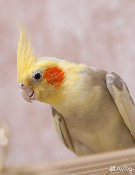 Попугай корелла  89800157867 купить 1