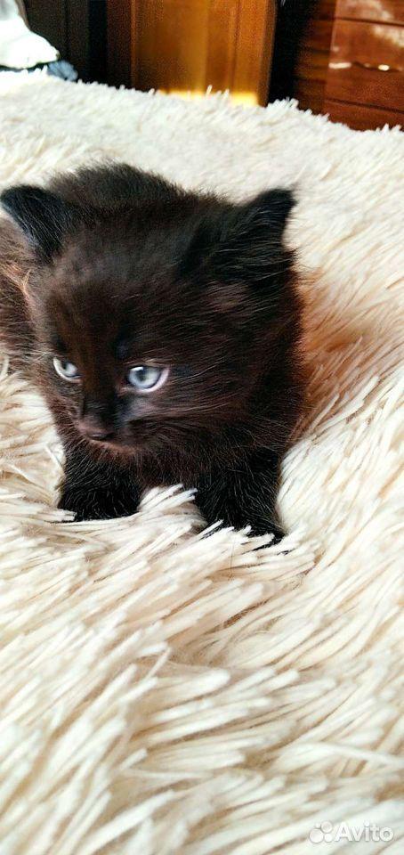 Кошка  89029455536 купить 1
