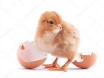 Продаём инкубационное яйцо
