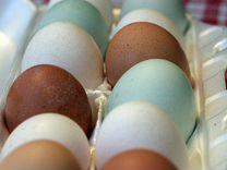 Инкубационное яйцо-куры,утки,индюки,цессарки и т.д