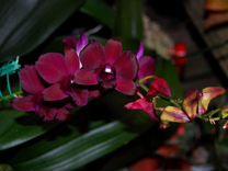 Дендробиум орхидея в ассортименте