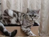 Шикарный Шотландский кот ждёт в гости кошечку