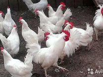 Инкубационное яйцо мясо-яичных пород птицы
