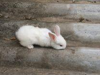 Кролики Великаны мясо кроликов
