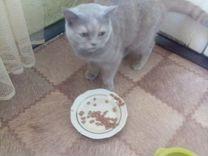 Британская породистая кошка
