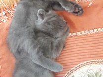 Милые, умные Шотландские котята