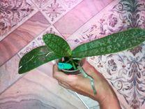 Орхидея Стюартиана Пико Чип